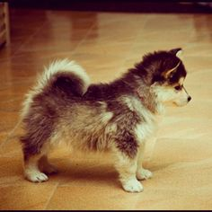 Pomsky! This is my future puppy. It's so cute I could almost die!
