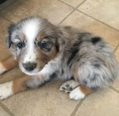 Finnley the Australian Shepherd puppy! #australianshepherdpuppy