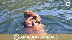 Adorable Bear Cubs Ride On Mother's Back