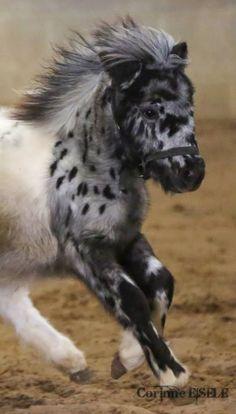 Die 93 Besten Bilder Von Appaloosa Pferde Equine Photography