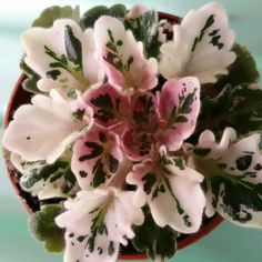 AFRICAN VIOLET LEAVES TORONTO BELLE~BEAUTIFUL VARIEGATED MINIATURE VIOLET