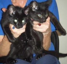Cowboy & Rodeo is an adoptable Domestic Short Hair-Black Cat in Kensington, MD. We were found under a trailer that was torn down. Despite our tough beginning, we're sweet and playful and we've been ne...