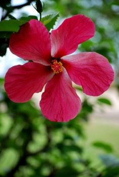 Red hibiscus flower in Fiji i want a plant or bush or whatever of these in my backyard!