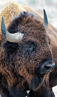Bison are an iconic symbol of the American West. Once numbering more than 50 million animals across the plains, bison are now mainly relegated to a few captive herds. Nature Animals, Animals And Pets, Cute Animals, Strange Animals, Wild Animals, Farm Animals, Beautiful Creatures, Animals Beautiful, Majestic Animals