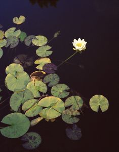 Waterlily by Katina Houvouras