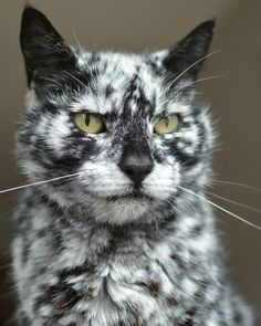 This is scrappy and he is really that colour Scrappy was born in 1997 as a black cat and only a few years ago he started turning white (maybe vitiligo) and has ended up with this extraordinary pattern Not Maine Coon but beautiful. Animals And Pets, Baby Animals, Funny Animals, Cute Animals, Animals Images, Funniest Animals, Pretty Animals, Wild Animals, Pretty Cats