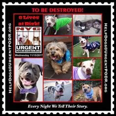 TO BE DESTROYED 11/15/17 - - Info   To rescue a Death Row Dog, Please read this:http://information.urgentpodr.org/adoption-info-and-list-of-rescues/  To view the full album, please click here:http://nycdogs.urgentpodr.org/tbd-dogs-page/ -  Click for info & Current Status: http://nycdogs.urgentpodr.org/to-be-destroyed-4915/