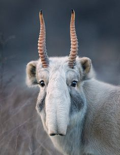 The saiga antelope is one of the world's most ancient living mammals, having shared the Earth with saber-toothed tigers and woolly mammoths, years ago. The antelope is now critically endangered due to poaching for it's horn, which is prized in Chin Unusual Animals, Rare Animals, Animals Beautiful, Funny Animals, Extinct Animals, Animals Sea, Cutest Animals, Animals In The Wild, Animals With Horns