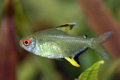 Hyphessobrycon pulchripinnis -  Lemon Tetra, South America