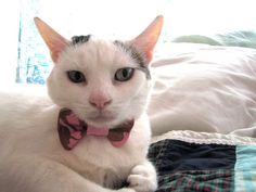 kitty bow tie...... Pudge needs this!