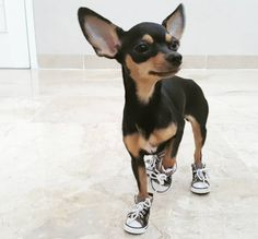 Because look at this tiny dog with tiny paws! | 19 Tiny Dogs Wearing Even Tinier Shoes