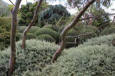 rhagodia spinescens silver border salt bush with shaped Westringia in background