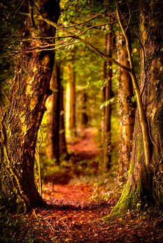 Forest Path, Wales