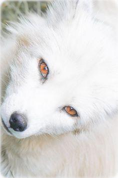 Blanco como la nieve y ojos de fuego. Salvaje y hermoso