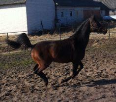 Arabian Horse, Wextreem