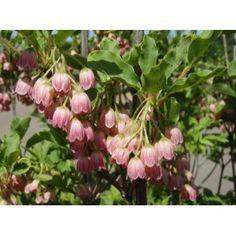 Enkianthus campanulatus Plants, Plant, Planets