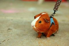 for a walk, I know that these harnesses aren't for piggies, and I heard they aren't good for them, but this pic is adorable