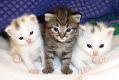 The world's first specially-bred hypoallergenic cats have gone on sale in the United States. Description from groups.yahoo.com. I searched for this on bing.com/images