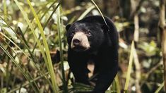 Watch: A resilient young sun bear struggles to survive amid deforestation and poaching https://t.co/TEJA8Sr274 #hairtransplant #hairturkey #hairtransplant #hairturkey #hairtransplantturkey #hairstyle #hairnews #hair #hairloss
