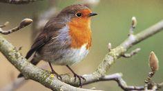 European Robin or Robin Redbreast Pretty Birds, Love Birds, Beautiful Birds, Small Birds, Little Birds, Robin Vogel, Big Garden Birdwatch, European Robin, Tableau Design