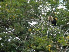 Monkey from Monkey Island - Panama Canal