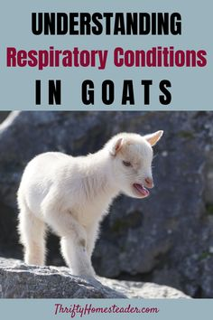 Treating respiratory issues caused by environmental factors will be a waste of time, as they will not go away until the environmental problem is corrected. This is why barns should not be insulated. In fact, we keep a door open year round unless we are in the midst of a blizzard with blowing snow. #goathealth #raisinggoats Breeding Goats, Goat Shelter, Nigerian Dwarf Goats, Raising Goats, Environmental Factors, Baby Goats, Homesteading, Conditioner, Snow