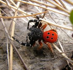 Eresus cinnaberinus, commonly called the Ladybird Spider, is native to Europe and gorgeous!