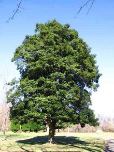 ... + images about My Yard on Pinterest | Holly tree, Trees and Birches