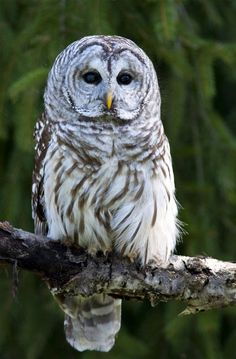 Barred owl - Awesome Birds Photography by Jen St. Louis  <3 <3