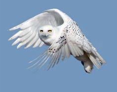 La civetta bianca - Una candida civetta delle nevi  in volo. Gli studiosi hanno riscontrato un numero crescente di questi esemplari che migrano dall'Alaska verso i territori americani più a sud (Reuters/U.S. Fish Service)
