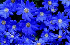Hey, I found this really awesome Etsy listing at https://www.etsy.com/listing/209404804/50-daisy-seeds-felica-the-blues-heirloom