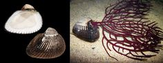 Eontia ponderosa (Say, 1822), The ponderous ark, is one of the most common shells found on the beaches of Sanibel and Captiva island by The Bailey-Matthews National Shell Museum. in fb