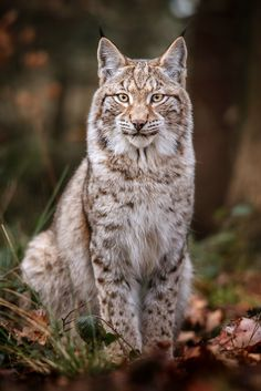 """beautiful-wildlife: """" Lynx by Stefan Betz """" Nature Animals, Animals And Pets, Funny Animals, Cute Animals, Wild Animals, Baby Animals, Animal Gato, Mundo Animal, Beautiful Cats"""