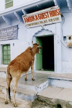 Jessica Scranton. A cow enters a guesthouse in Pushkar, India. PDN