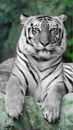 N/A tiger pictures, animal pictures, scary animals, animals and pets, Big Cats, Cats And Kittens, Cute Cats, Kitten Wallpaper, Animal Wallpaper, Animals And Pets, Baby Animals, Cute Animals, Wild Animals