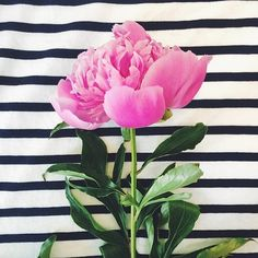 Peonies and stripes, a great combination! My Flower, Fresh Flowers, Beautiful Flowers, Pink Flowers, Peonies Wallpaper, Bloom, Planting Flowers, Floral Arrangements, Artsy