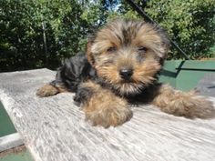 Beautiful Registered Yorkie Puppy. She is 12 weeks old