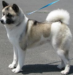 Akita. Finally I see one on here!  Besides being a different color mine has freakishly long legs compared to this one.