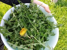 Dandelion: Forage, Prepare and Learn to Love The Common Weed