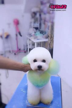 💚This Amazing design was done by Mengyi Grooming💙 with OPAWZ Temporary Pet hair Chalks!🤩 It does not compromise the coat in any way, 👏safe for all your pets an can be used on dark and light hair. Dog Grooming Styles, Dog Grooming Salons, Poodle Grooming, Baby Dogs, Dogs And Puppies, Dog Dye, Mobile Pet Grooming, Poodle Hair, Creative Grooming