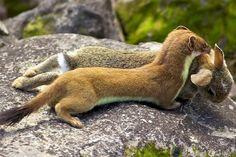Stoat with rabbit byblack fox wildlife photography