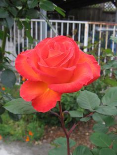 Orange Rose. April 2015