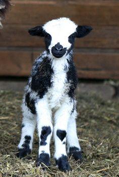 Jacob sheep_2411