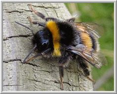 "(link) ARTICLE: ""Bumblebees vs. Honeybees: Whats the difference?"" ~ PIC: Bumblebee ~ for more info & picture of the Honeybee too, see article ~ for more great PINs w/good links visit me @djohnisee ~ have fun!"