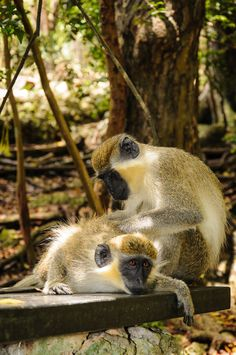Green Monkey, Barbados http://www.travelbrochures.org/198/north-america/the-beautiful-land-of-barbados