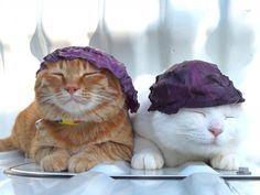 Kitties wearing cabbage leaves