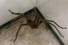 Veneno de aranha pode gerar remédio para disfunção erétil