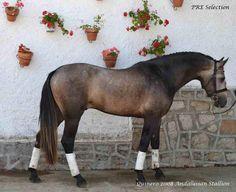 PRE stallion Quinero