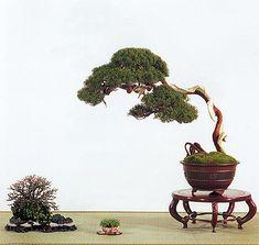 Artist: Keiichi Fujikawa  Shimpaku Juniper, 50cm, Shide Chinese Pot  Japanese Flowering Apricot, 15cm