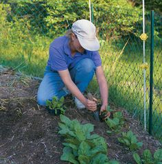 How to Grow Spinach